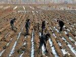 Рабочие на поле 3 февраля в провинции Хванхэ.jpg
