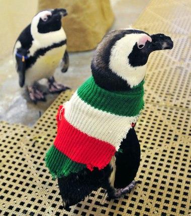 Самый пожилой 109-летний мужчина Альфи Дейт из Австралии вяжет свитера для поранившихся от разлива нефти пингвинов.
