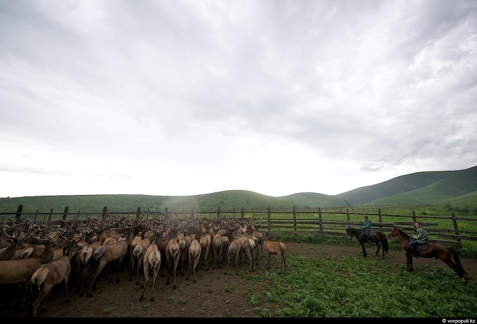 4. Чтобы согнать пантовых оленей в загон, мараловодам приходится использовать громкие индейские клич