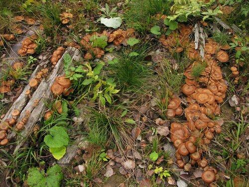 Если у зимних это был слой, то у осенних в некоторых местах продолжался мега-слой. Обычно заморозки со снегом эти грибы не любят. Очевидно, холод не нравился осенним опятам и сейчас, но молодежь упорно продолжала вылезать едва ли не до конца месяца Автор фото: Станислав Кривошеев