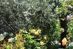 Оливка и желтые розы