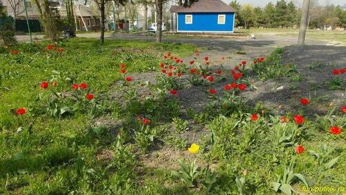 Весенний Ростов - тюльпаны в городе