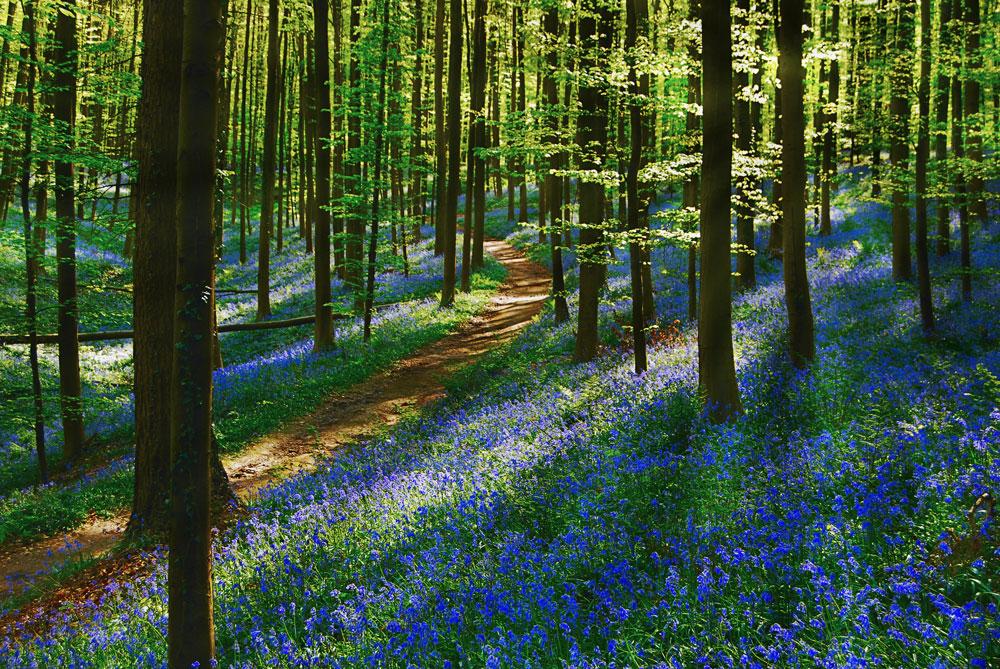 Фотографии Халлербоса   лес синих колокольчиков в Бельгии 0 140af3 5f8737b orig