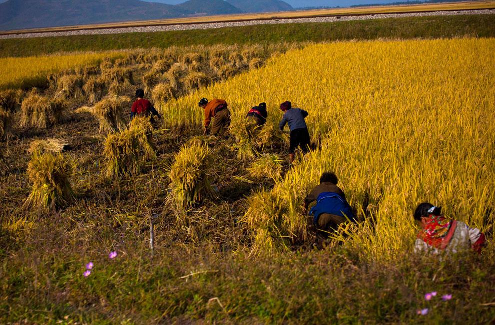 34. Крестьяне работают в поле у восточного прибрежного города Вонсан 8 октября.
