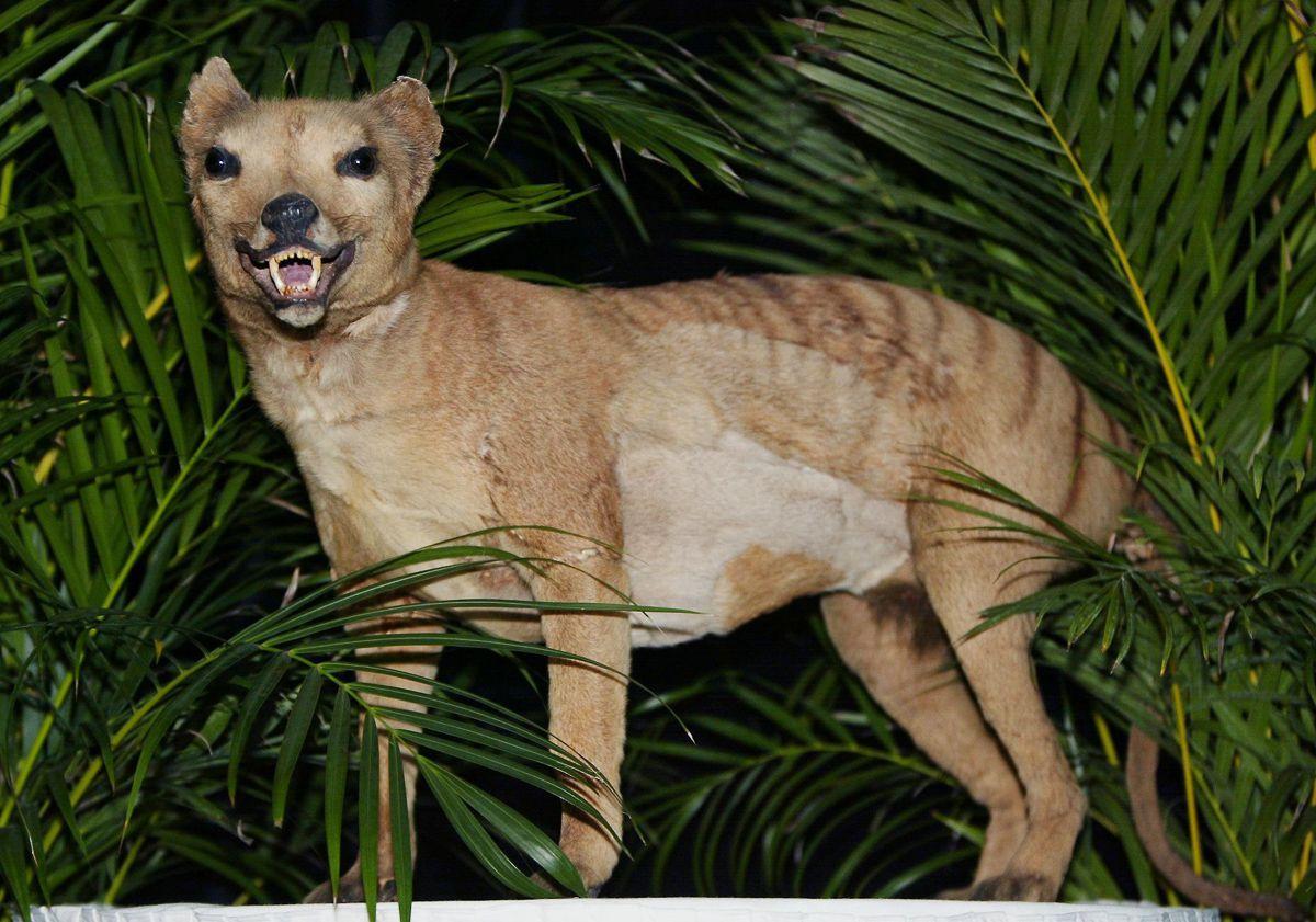 2005 год. Сохранённое тело тилацина в Национальном музее Австралии в Канберре.