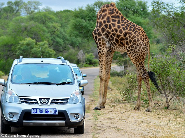 Жирафу вздумалось почесаться.