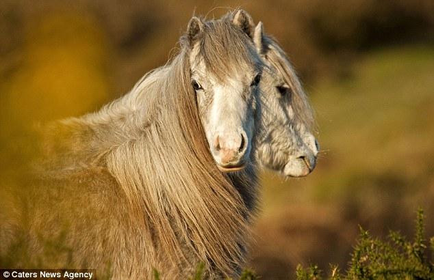 Пони отрастил вторую голову. Полуостров Гауэр, Уэльс, Великобритания.
