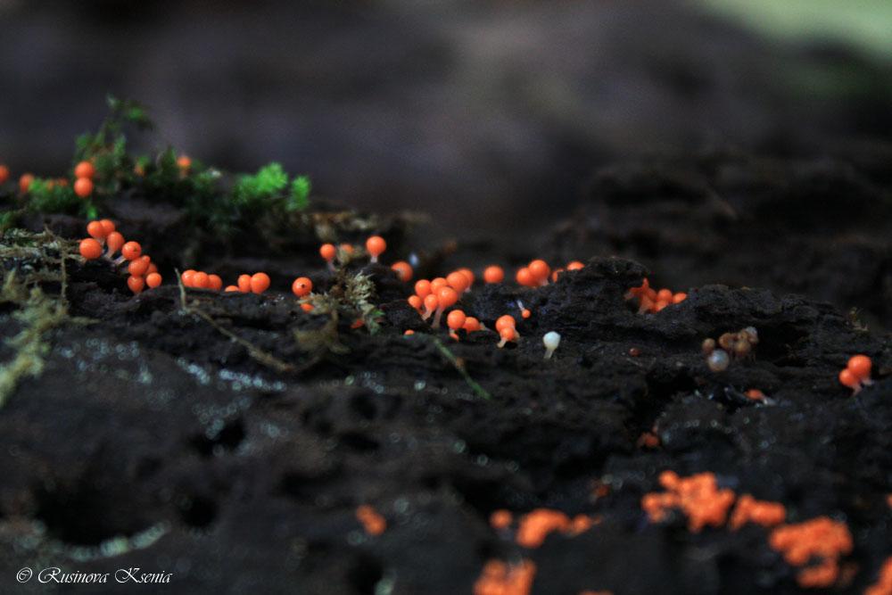 трихия обманчивая (Trichia decipiens)