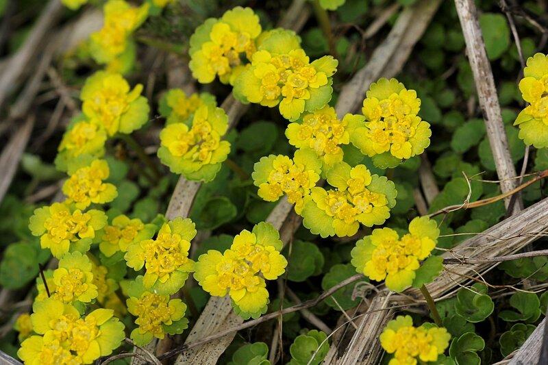 Селезёночник обыкновеннный (очерёднолистный, Chrysosplenium alternifolium): ранний весенний цветок с жёлтыми цветками и прилистниками