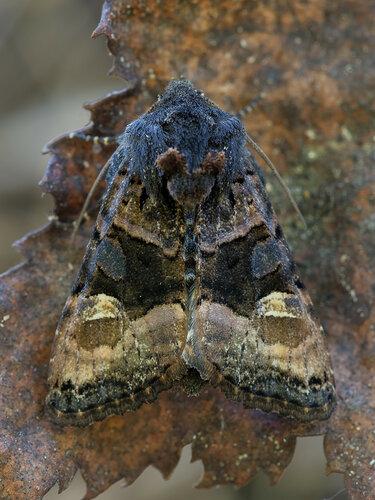 Совка малинная - Euplexia lucipara (Noctuidae: Noctuinae: Phlogophorini) Автор: Владимир Брюхов