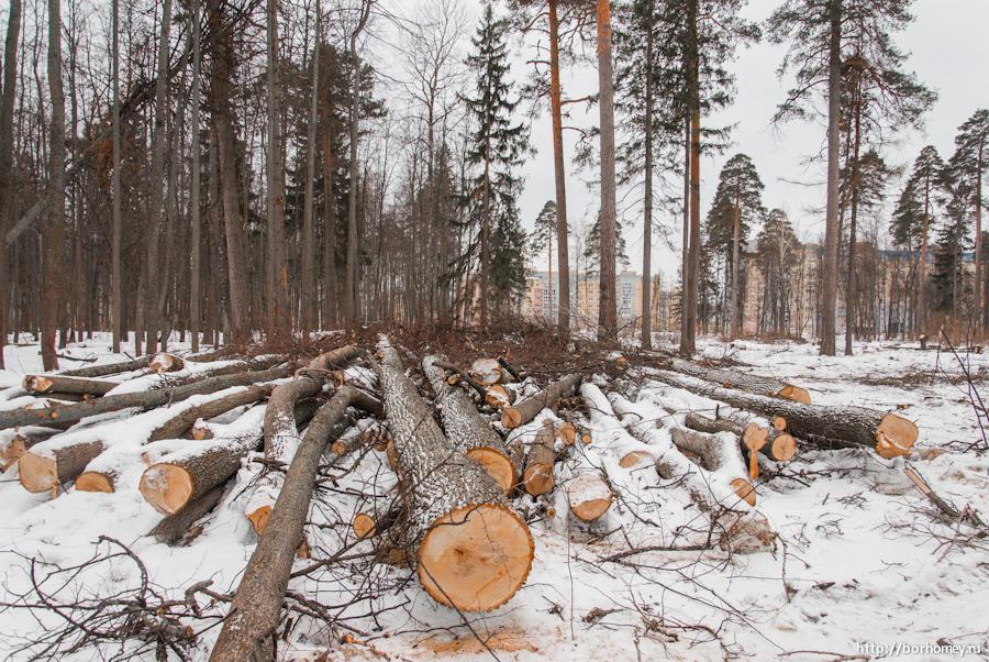 вырубленные деревья лежат на снегу