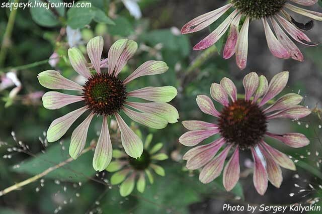 Echinacea Green Envy (21).JPG