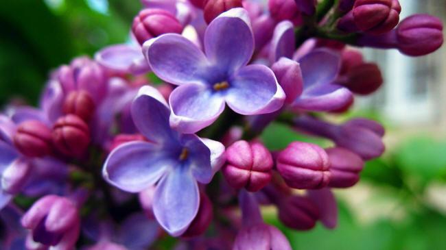 Цвітіння бузку