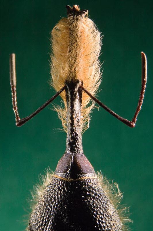 13. Бородатый долгоносик (увеличение х10). Фото сделано в Университете Колумбии в Меделлине. (ALEXA