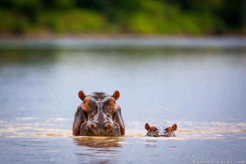 Бегемотиха с малышом. Автор фото: Уилл Беррард-Лукас