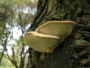 Бъеркандера дымчатая (Bjerkandera fumosa)