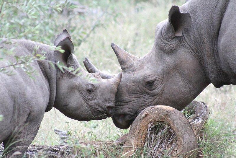 Носороги в Национальном парке Крюгера в ЮАР.