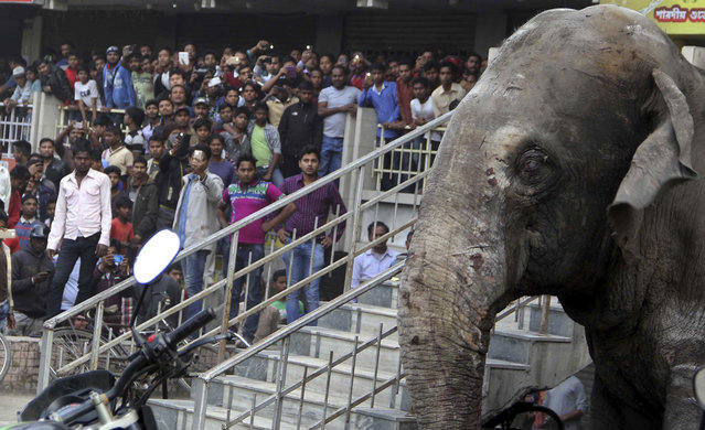 A wild elephant that strayed into the town stands after authorities shot it with a tranquilizer gun