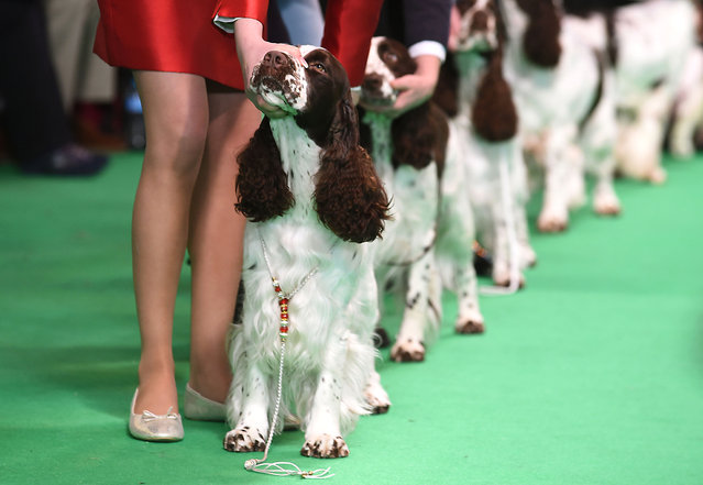 Spaniels are judged on day two of Crufts 2016 at the NEC, Birmingham on March 11, 2016. (Photo by Jo