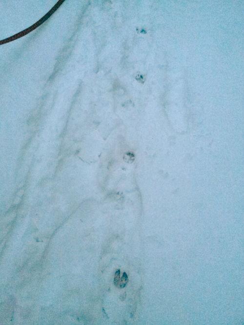 Девонширский дьявол в Подушкинском лесу