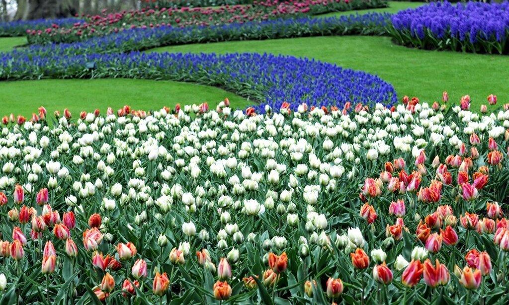 Tulips_Many_Lawn_442755.jpg