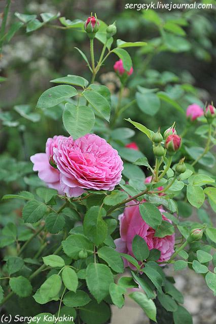 Rosa Princess Alexandra of Kent (2).JPG