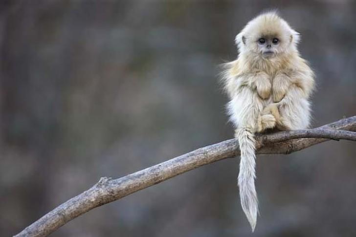 Эти яркие приматы живут преимущественно в Южном и Центральном Китае, на высоте до 4000 метров. В