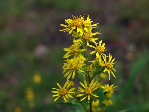 Золотарник обыкновенный - Solidago virgaurea. Другие названия: Золотая розга, Солидаго. Считается ядовитым растением. Автор фото: Юрий Семенов