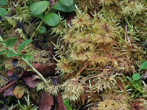Гилокомий блестящий (Hylocomium splendens)