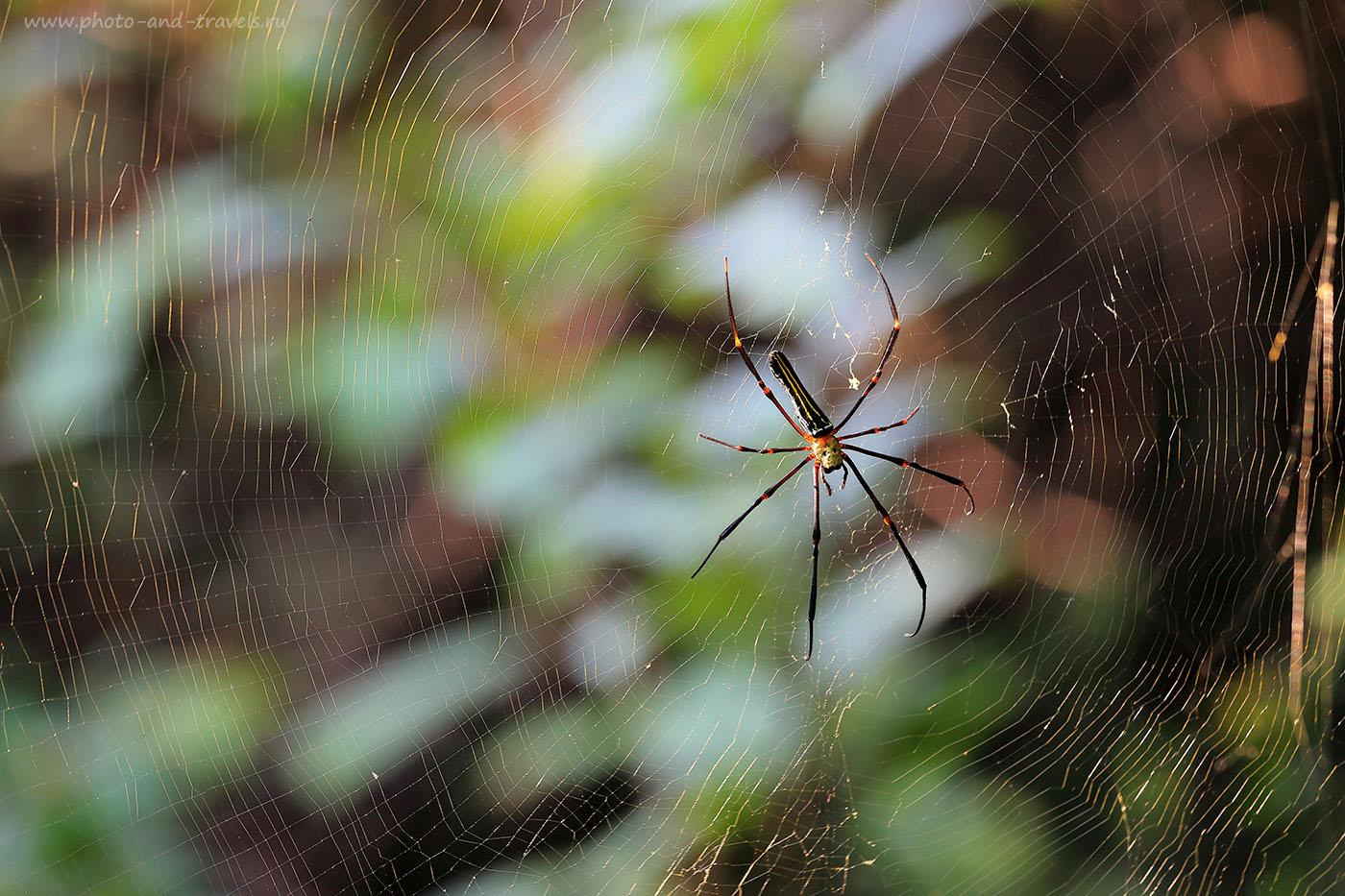 Фото 21. Паучиха. Отзыв о небольшом походе в джунгли на Южном Гоа. Самостоятельный отдых в Индии. Насколько здесь опасно (70-200, 1/80, 0eV, f6.3, 155mm, ISO 250)