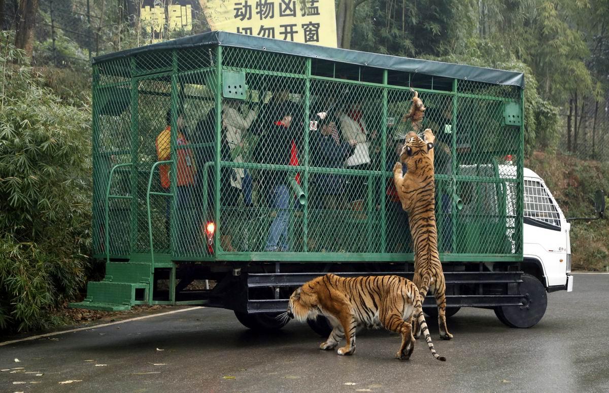 Люди в клетке, а тигры на свободе: Китайский подход к устройству современных зоопарков