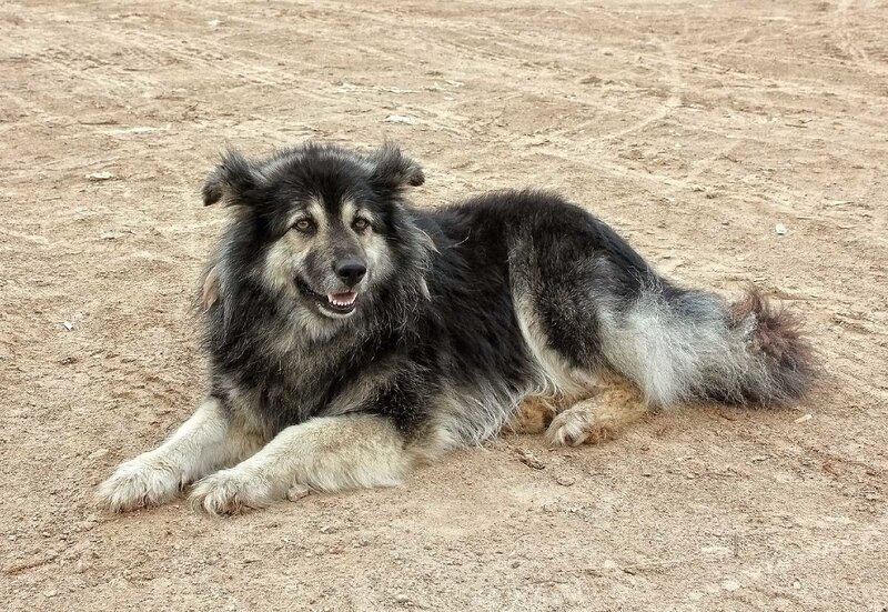 Залесская собака (10).jpg