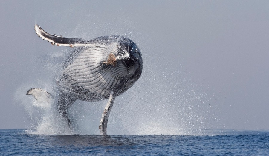 Huge Humpback Whale Breaches Off South African Coast