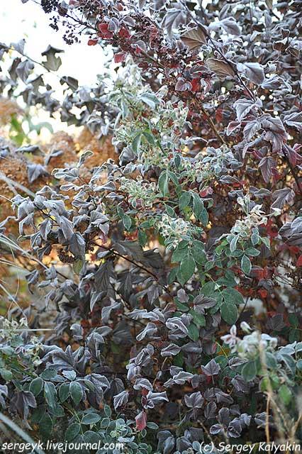 Rosa Kew Gardens (54).JPG