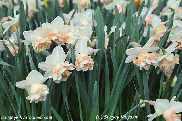 Narcissus Eudora.JPG