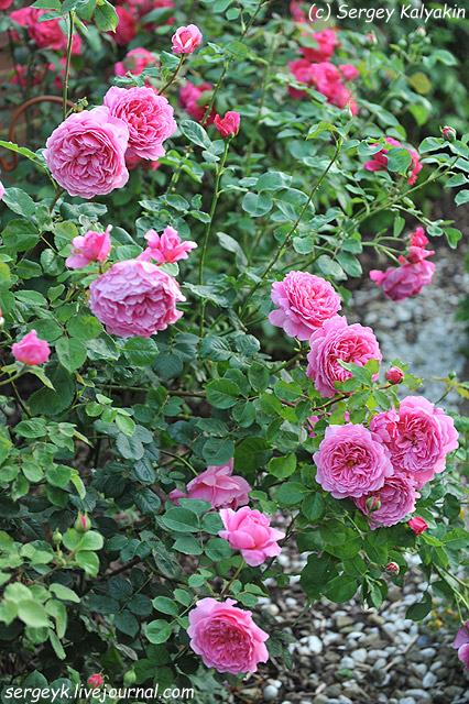 Rosa Princess Alexandra of Kent (9).JPG