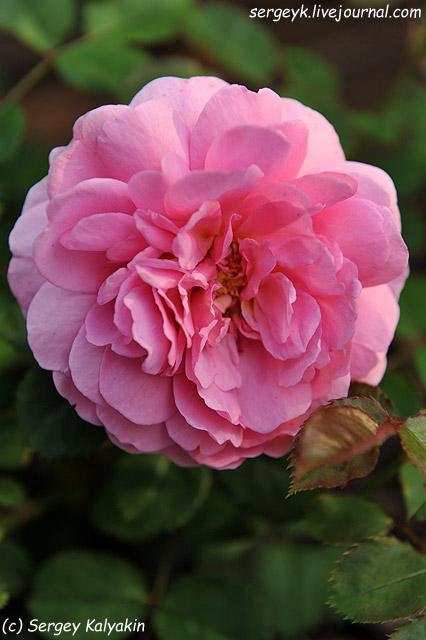 Rosa Princess Alexandra of Kent (10).JPG