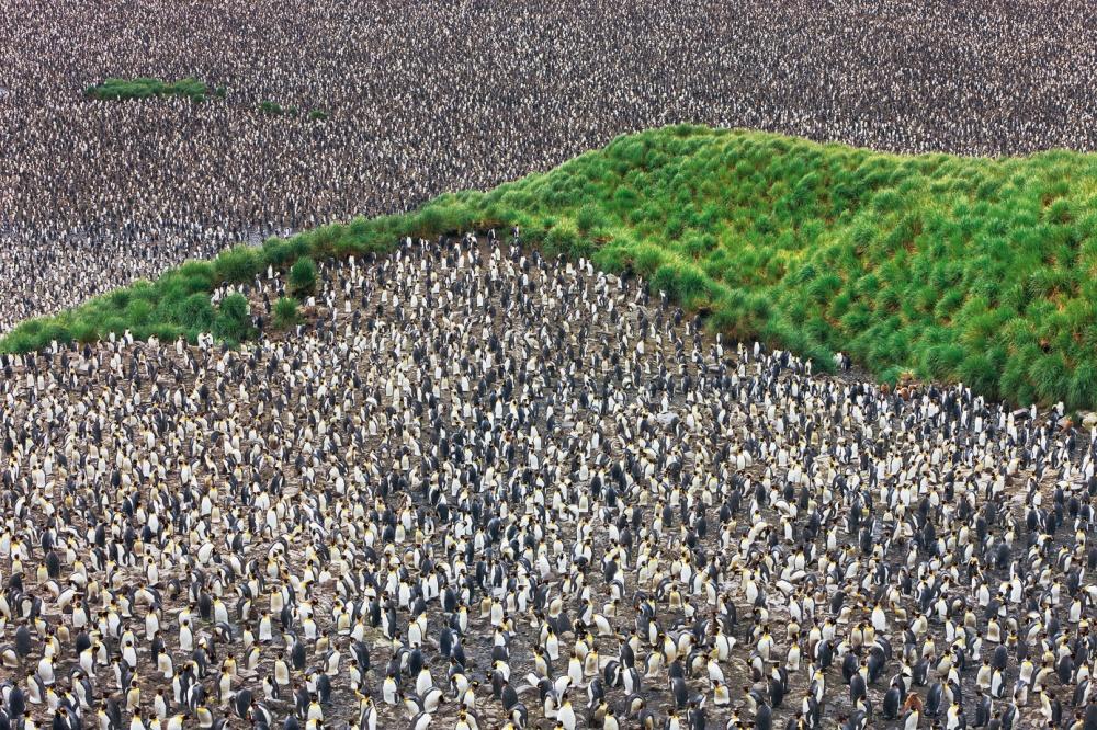 Царство королевских пингвинов вдолине Солсбери-Плейн, остров Южная Георгия.