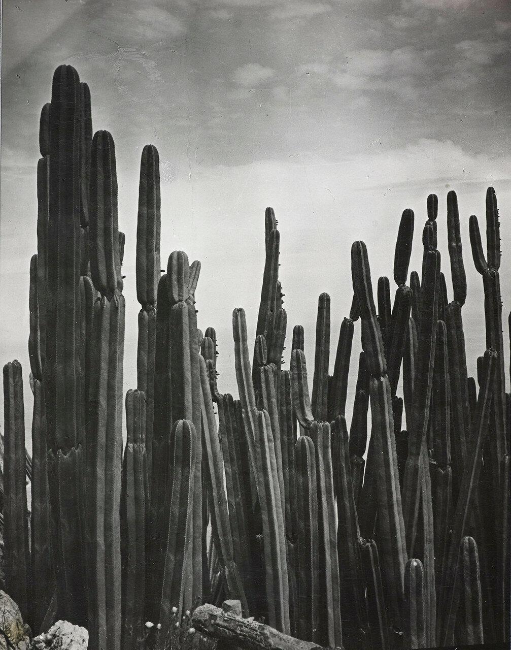 1933. Цереус, Экзотический сад Монако