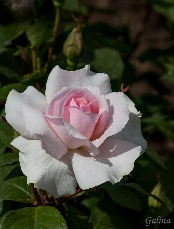 Звезды розовой вселеннойдарят сладкий аромат...красотой цветет бесценнойнежных роз чудесный сад...