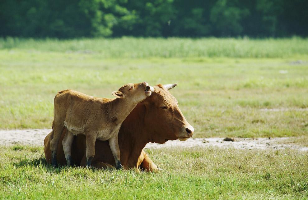 16. У коров много талантов. Есть коровы-исследователи. Буэнос-Айрес, 4 июля 2008. (Фото Marcos