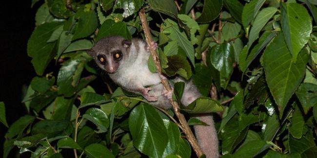 © Louise Jasper  Этот карликовый лемур, обитающий исключительно наСеверном Мадагаскаре, был о