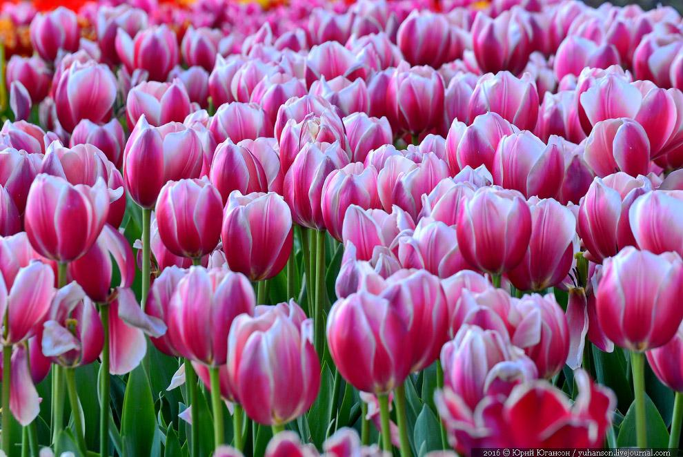 7. Бахромчатый тюльпаны: