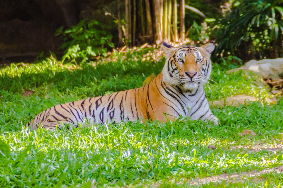 6. Бенгальский тигр ( Panthera tigris tigris ) — единственный подвид, которому пока не грозит и