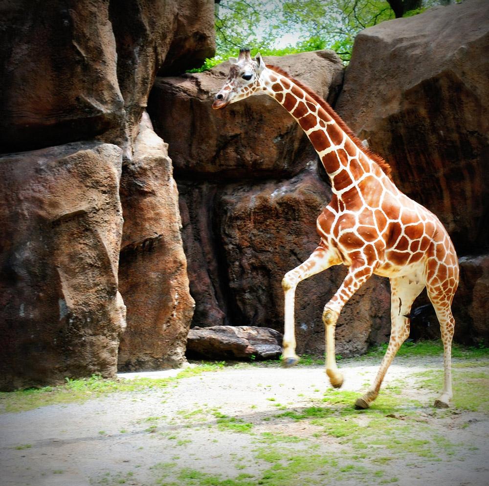 8. Жираф шагает широко, четырехметровыми шагами. Когда животное спокойно идет, человеку рядом придет