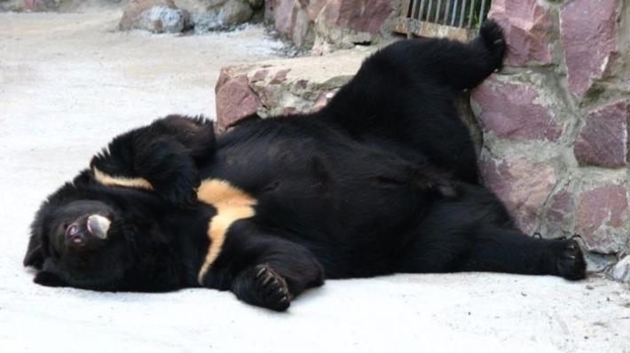 63-летний каратист изЯпонии победил всхватке сгималайским медведем