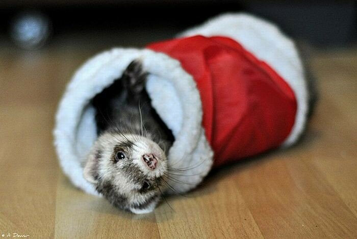 cute_animals_dressed_for_christmas_07.jpg
