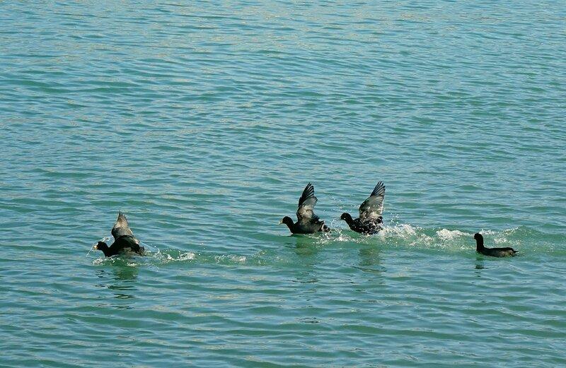 Громко шлепая по морской глади - бежали утки...