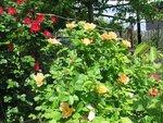 POKON 2016 розы