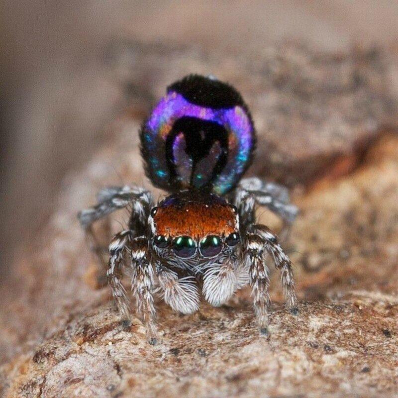 Красивый павлиний паук   самый удивительный в мире!